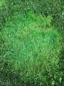 septic drain field growth
